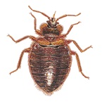 Bed Bug - Cimex Lectulariu - Pest Control - Bayer